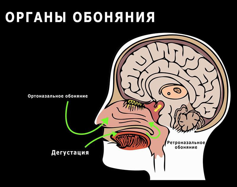 два типа обоняния: ортоназальное и ретроназальное